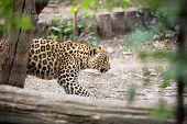picture of snow-leopard  - Snow Leopard Irbis  - JPG