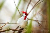 stock photo of cardinal-bird  - Cardinal bird with red - JPG