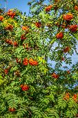 stock photo of rowan berry  - Rowan tree with red berries and leaves