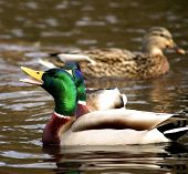 picture of male mallard  - Male Mallard Duck swimming with open mouth - JPG