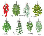 stock photo of oregano  - Vector illustration with eight different bunches of medicinal aromatic herbs with fresh red cayenne chilli peppers  bay  rosemary  oregano  rocket  thyme  parsley and sage on white with names - JPG