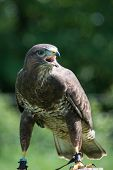 stock photo of buzzard  - Common Buzzard - JPG