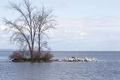 foto of winnebago  - Pelicans cover the rocks on a Peninsula with one lone tree - JPG