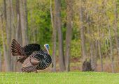 pic of gobbler  - Strutting male wild turkey displaying in the spring mating season - JPG