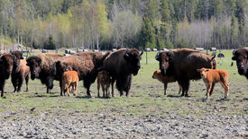 stock photo of female buffalo  - Herd of American Bison  - JPG