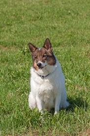 picture of laika  - Portrait of a cute Siberian husky  - JPG