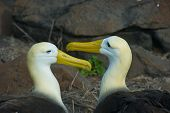 picture of albatross  - The waved albatross - JPG