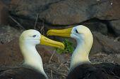 image of albatross  - The waved albatross - JPG