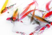 image of fish pond  - Koi Fish and Goldfish Swimming in Pond Abstract Watercolor - JPG