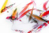 stock photo of koi fish  - Koi Fish and Goldfish Swimming in Pond Abstract Watercolor - JPG