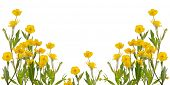 picture of buttercup  - yellow buttercup flowers isolated on white background - JPG
