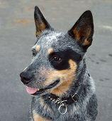 pic of blue heeler  - Australian Cattle Dog with Black Eye Patch - JPG