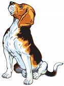 stock photo of foxhound  - beagle hound dog - JPG