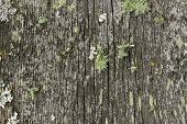 image of lichenes  - Weathered cracked wooden board with lichen in the Alps - JPG