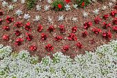 pic of geranium  - An overhead view of an annual flower bed containing alyssum - JPG