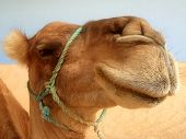 pic of camel-cart  - Great clear camel headshot - JPG