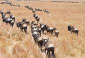 picture of wildebeest  - Masai Mara wildebeest migration in Tanzania Africa - JPG