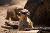 picture of meerkats  - Curious meerkat pack sniffing arround it lair - JPG