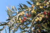 pic of olive trees  - Detail of olive tree branch - JPG