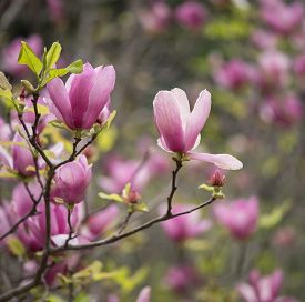 foto of japanese magnolia  - pink magnolia flowers isolated on white background - JPG