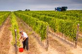 foto of grape  - Farmer harvesting by hand grape in a vineyard in contrast to a grape harvesting machine operating in the background - JPG