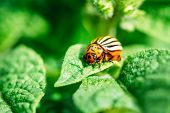 picture of potato bug  - The Colorado Potato Striped Beetle  - JPG