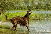 image of english setter  - English red setter is standing into the water in sunshine  - JPG
