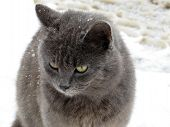 Gray Cat On The Snow. Snowflakes On Cat Hair During Snowfall, Concept For Cold Weather, Winter Seaso poster
