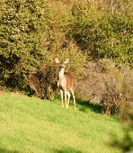 female (doe) Black-tailed deer (hemionus odocoilus) standing watching