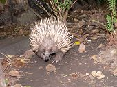 stock photo of ant-eater  - echidna or spiney ant eater  - JPG