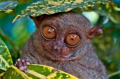 image of possum  - Big eyed Tarsier hiding under a leaf - JPG