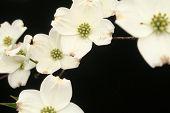 stock photo of white flower  - Cascade of dogwood flowers - JPG