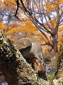 pic of goshawk  - Goshawk hunting a partridge in the forest - JPG