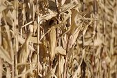 image of zea  - row of dry the maize