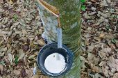 pic of afforestation  - Tapping latex from a rubber tree at Thailand - JPG