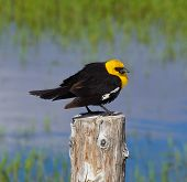Yellow Headed Blackbird (xanthoocephalus Xanthocephalus)