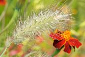 ?rnamental Plants - Fountain Grass