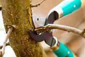 stock photo of tree trim  - Scissors is cutting branches from tree trimming - JPG