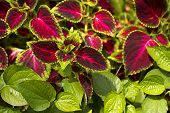 A beautiful leaf of coleus