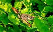 stock photo of locusts  - Locusts eat of green leaves of plants - JPG