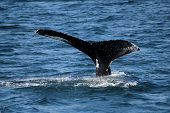 image of whale-tail  - Tail of the whale in the Atlantic ocean - JPG