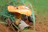 stock photo of yellow milk cap  - Mushrooms   - JPG