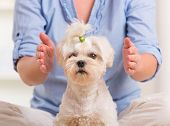 stock photo of qi  - Woman doing Reiki therapy for a dog - JPG