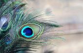 stock photo of blue animal  - A male green and blue peacock feather feathers