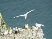 pic of gannet  - Flock of nesting Northern Gannets morus bassanus and bird in flight on cliff headland of english coastline - JPG