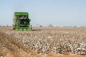 Cotton Harvest