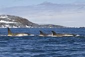 foto of orca  - Flock orcas or killer whales swimming along the Antarctic Islands 1