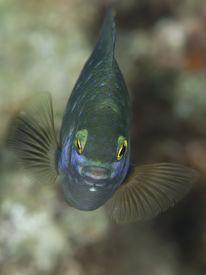 stock photo of damselfish  - Jewel damselfish in Red sea Egypt Hurghada - JPG