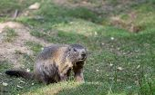 pic of marmot  - Alpine marmot standing in the green grass - JPG