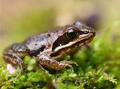 image of amphibious  - European Moor Frog  - JPG